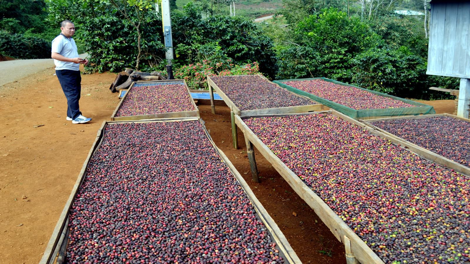 bolaven-plateau-coffee-1