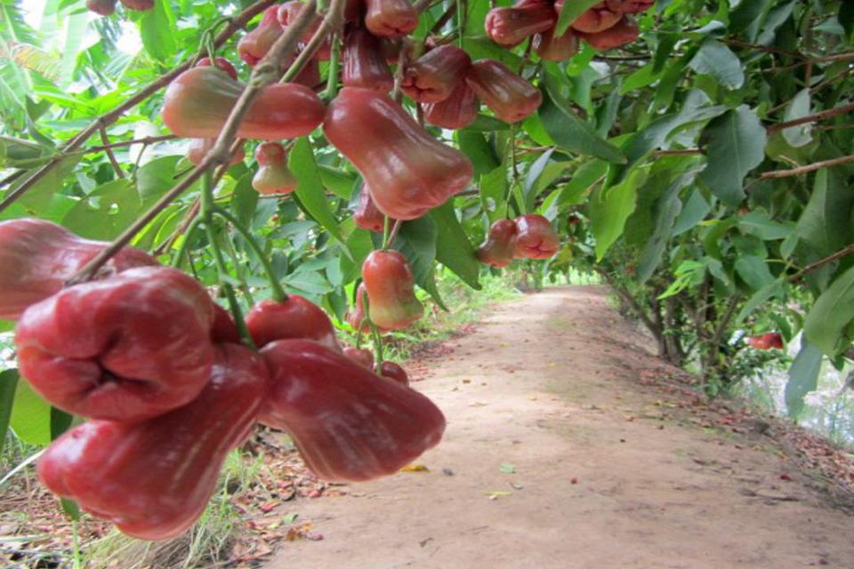 960-an-binh-Islet-orchard