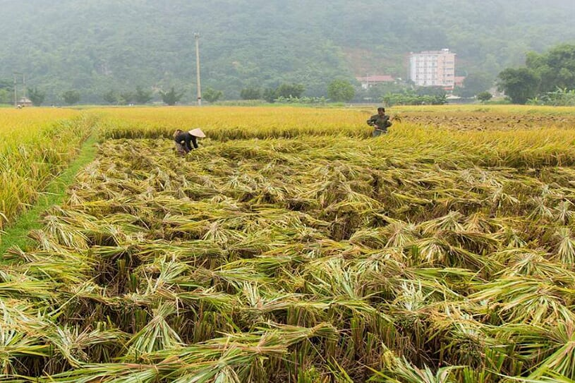 harvest-season-in-mai-chau