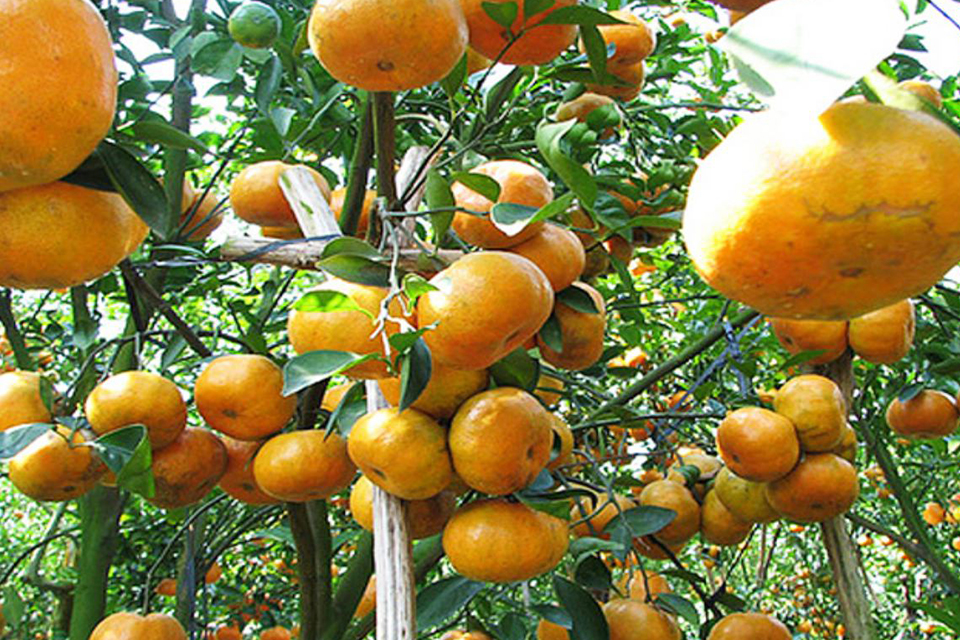 960-orange-in-mekong-delta