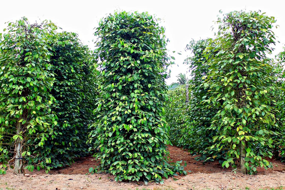 pepper-farm-north-and-south-of-phu-quoc-full-day-4