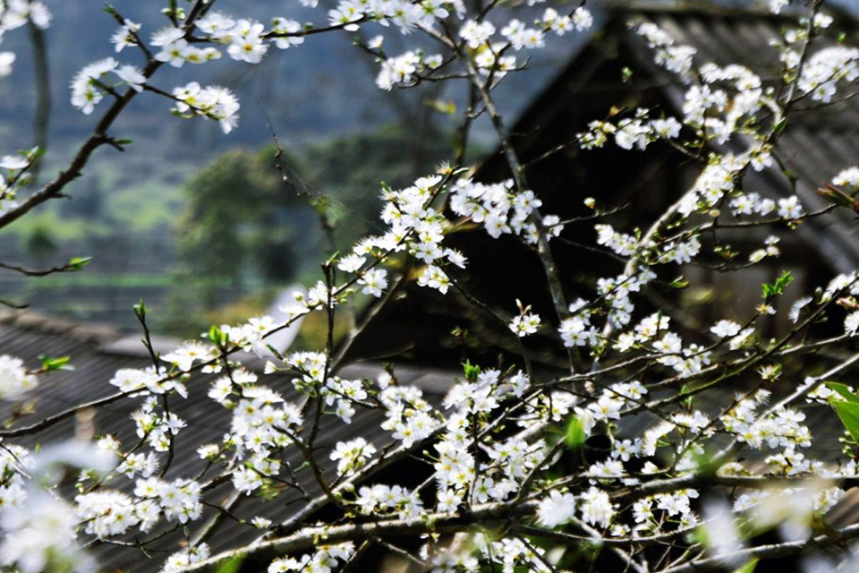 960-sapa-flowers-in-spring