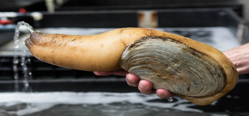 Geoduck at Duxton Hotel Saigon