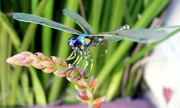 Phu Quoc Dragonflies