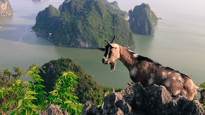 The mountainous goats on Bai Tho