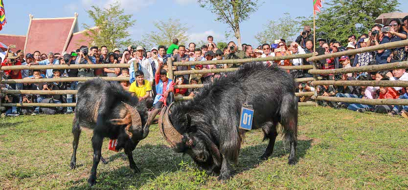Impressed with Goat Fight in Hoang Su Phi – Ha Giang – Vietnam