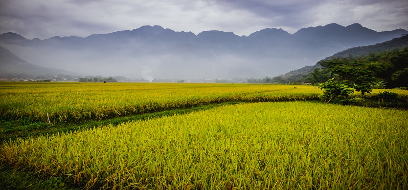 Mai Chau tourism: The golden terraced fields in the ripe rice season