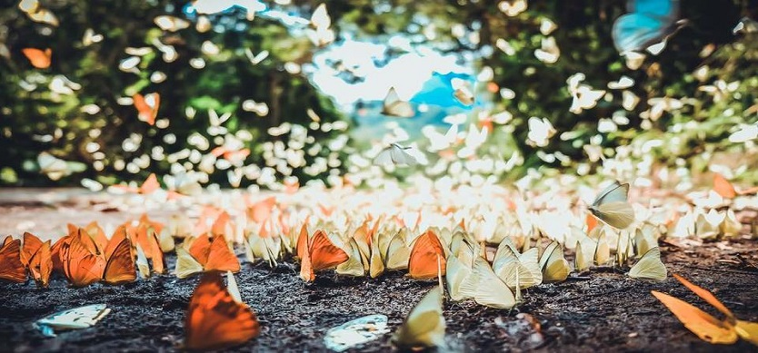 The most ideal destinations of Vietnam for hunting butterfly