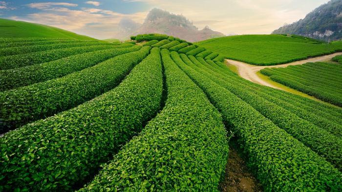 The beauty of green tea hills