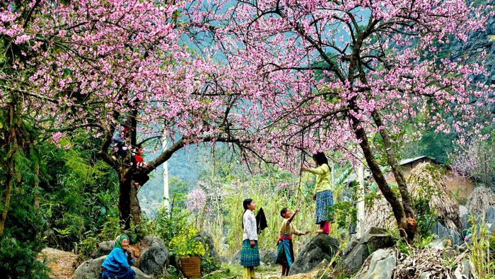 Spring in Moc Chau