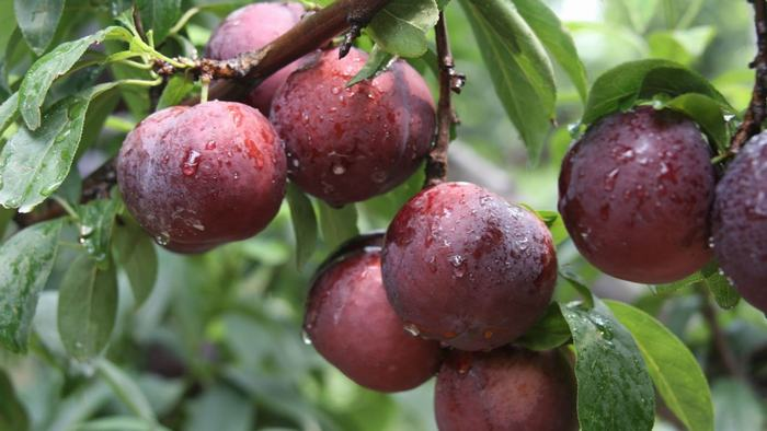 Plums in Sapa