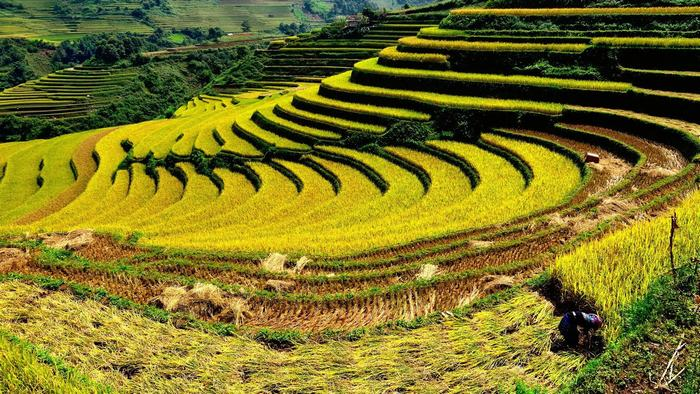 Bac Son Valley in the rice season