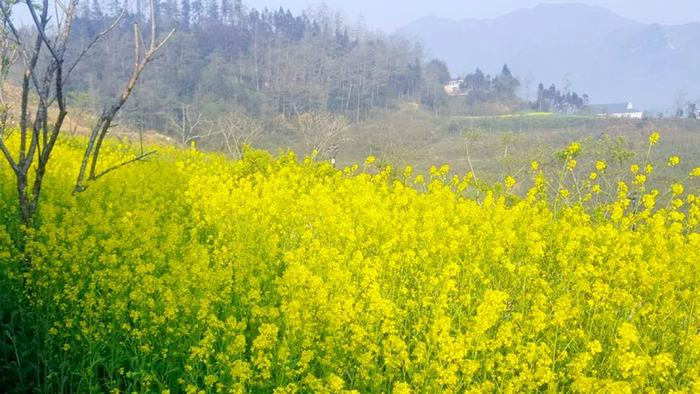 canola flower in Sapa