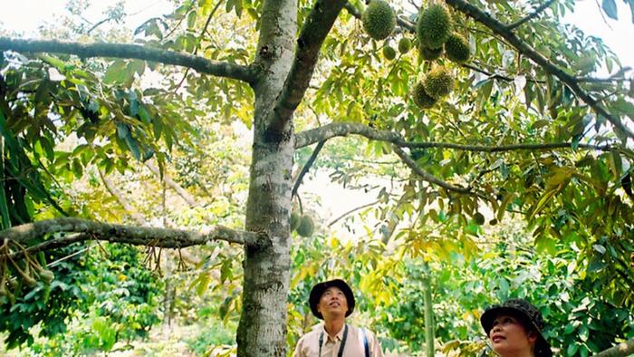 Orchards in Mekong Delta