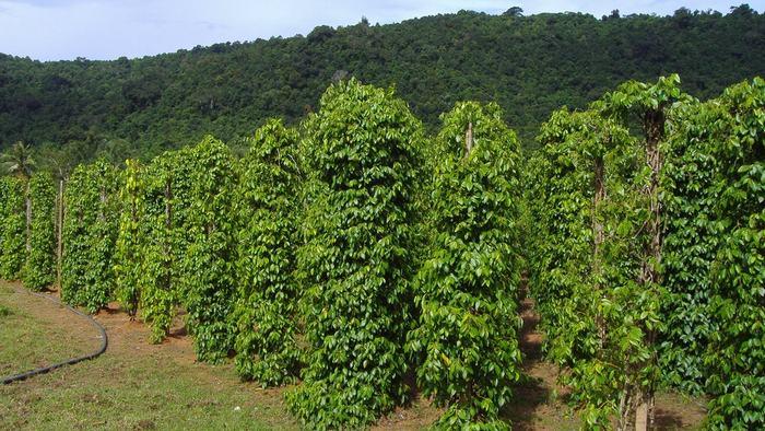Phu Quoc pepper gardens