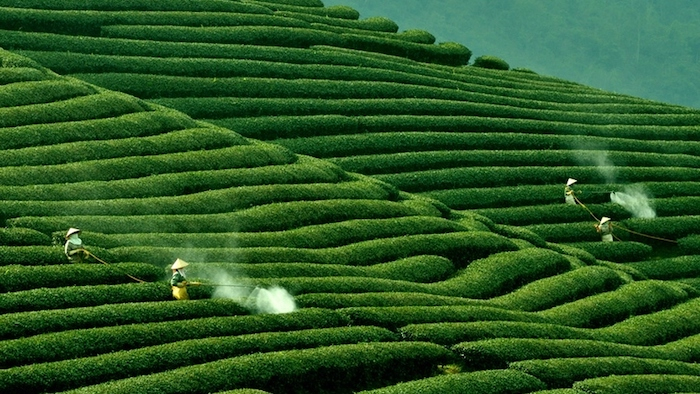 Mai Chau tea hills