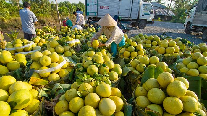 Exporting fruits in Mekong Delta