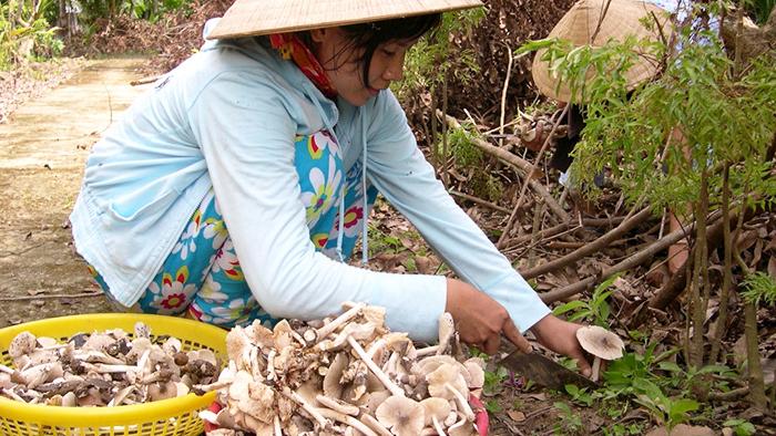 Harvesting termite mushroom in Ben Tre