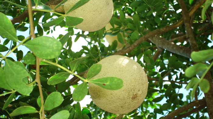 """Trai quach"", or wood apple, is very popular in the Mekong region"