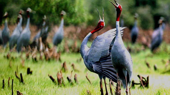 The rare red-headed cranes at Tram Chim