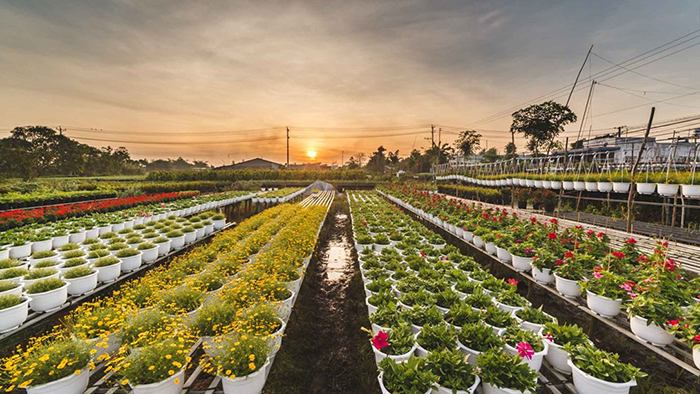 Sa Dec flower farms at dawn
