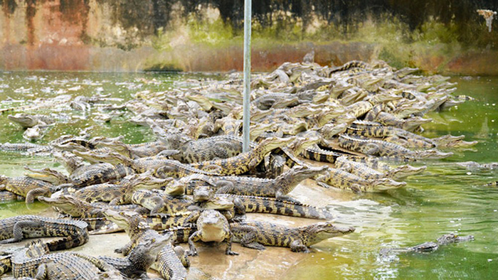 The crocodile farm in Mekong Delta