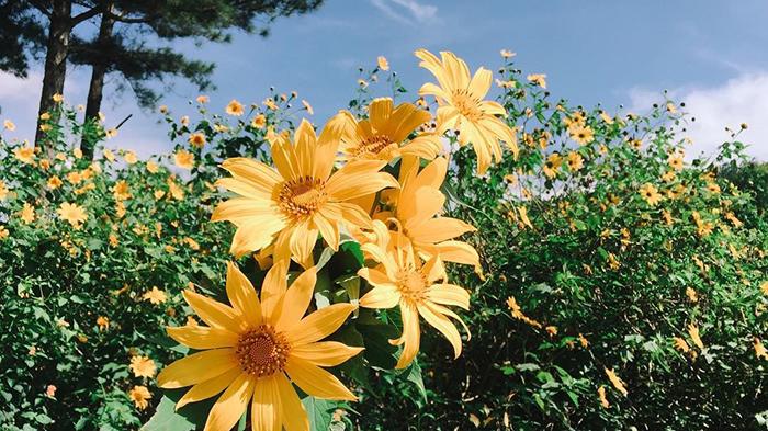 Brilliant yellow wild sunflowers in Da Lat