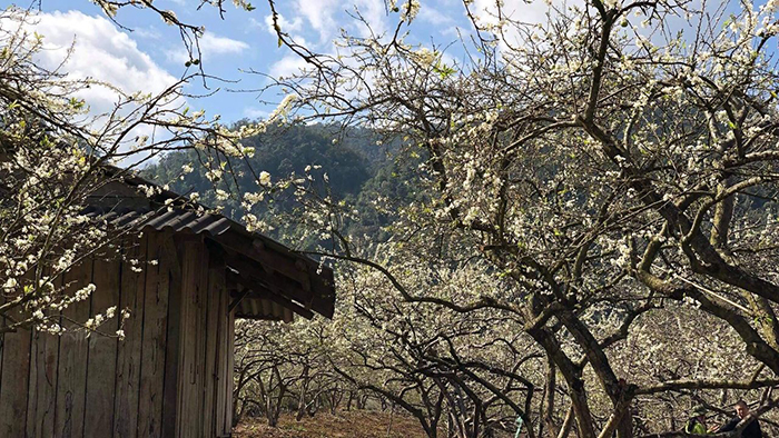 The white plum blossoms in Moc Chau