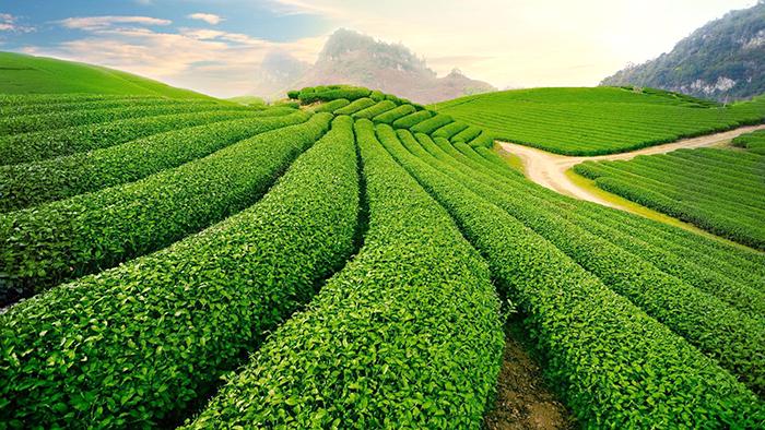 Moc Chau tea hills