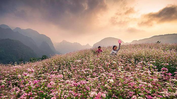 Ha Giang's buckwheat flowers