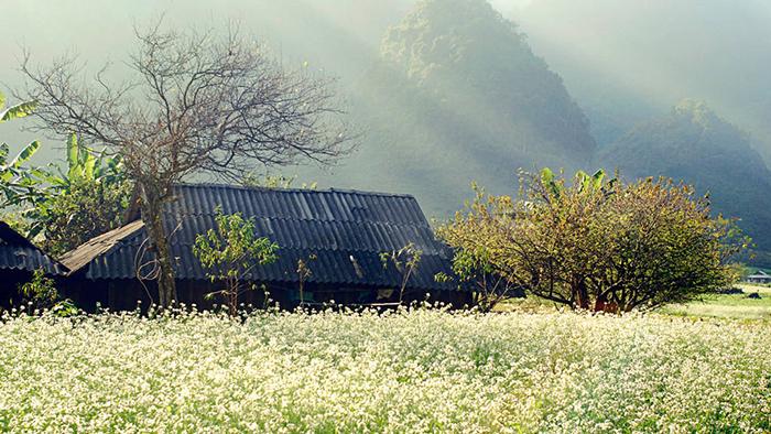 Ha Giang's buckwheat flowers