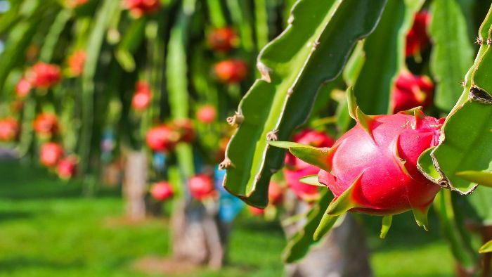 Dragon fruit garden in Chau Thanh