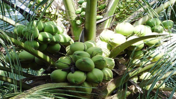 Ben Tre coconut festival