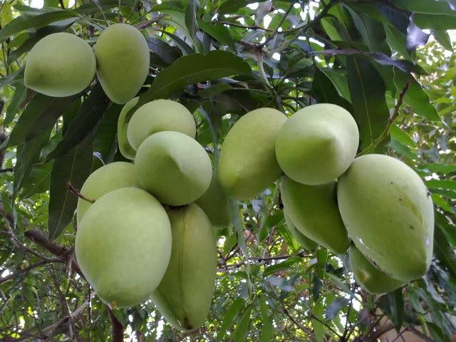 Hoa Loc mango - Cai Be's specialty