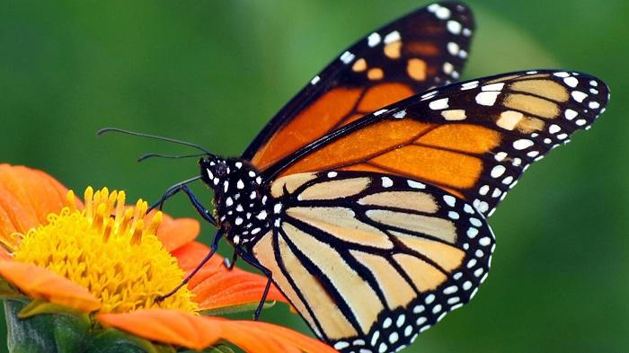 Tam Dao butterfly